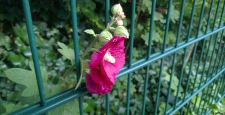 Eine Blume wächst durch eine Zaun in die 'Freiheit'